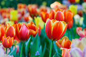 istock Tulip flower background, Colorful tulips meadow nature in spring, close up 1021593638
