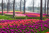 Tulip Flower. Beautiful bouquet of tulips. colorful tulips