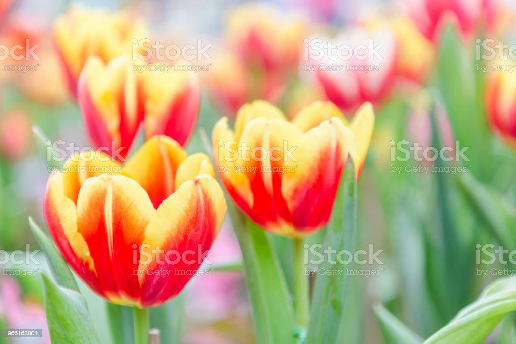 Tulip bloem. Prachtige tulpen in tulp veld met groene blad achtergrond op winter of lente dag. gebroken tulp. - Royalty-free Achtergrond - Thema Stockfoto