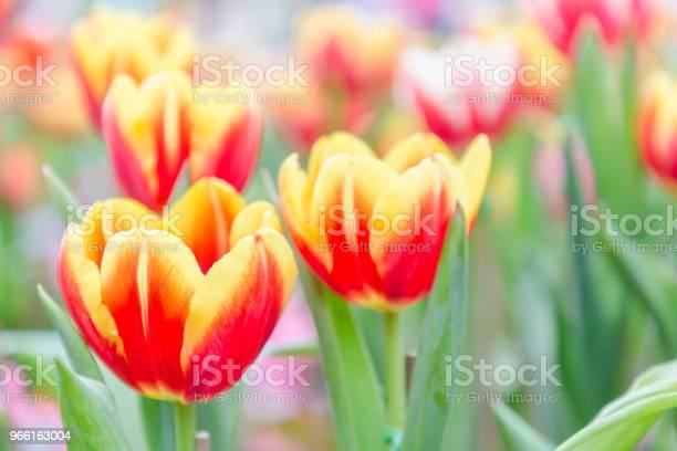 Tulip Bloem Prachtige Tulpen In Tulp Veld Met Groene Blad Achtergrond Op Winter Of Lente Dag Gebroken Tulp Stockfoto en meer beelden van Achtergrond - Thema