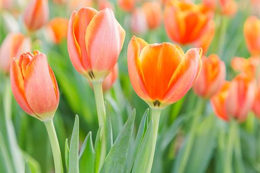 Tulip Flower Vackra Tulpaner I Tulpan Område Med Gröna Löv Bakgrund På Vintern Eller Våren Dag Trasiga Tulip-foton och fler bilder på Bildbakgrund