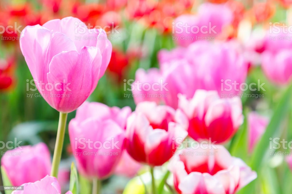 Tulip flower. Beautiful tulips in tulip field with green leaf background at winter or spring day. broken tulip. - Royalty-free Amarelo Foto de stock