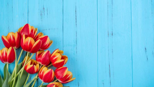 Tulip flower bunch, Mother's Day Design Concept - Beautiful Red, yellow bouquet isolated on blue wooden background, top view, flat lay, copy space Tulip flower bunch, Mother's Day Design Concept - Beautiful Red, yellow bouquet isolated on blue wooden background, top view, flat lay, copy space springtime stock pictures, royalty-free photos & images