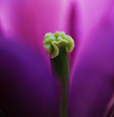 Tulip flower close up beautiful macro photography