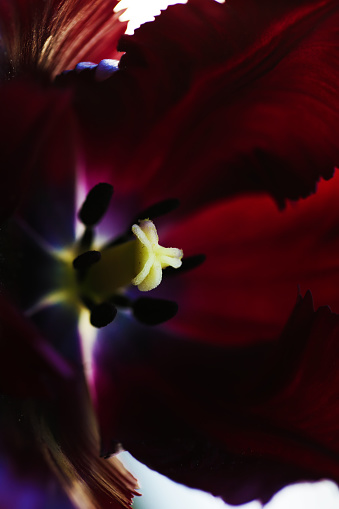 Tulip flower close up beautiful macro photography