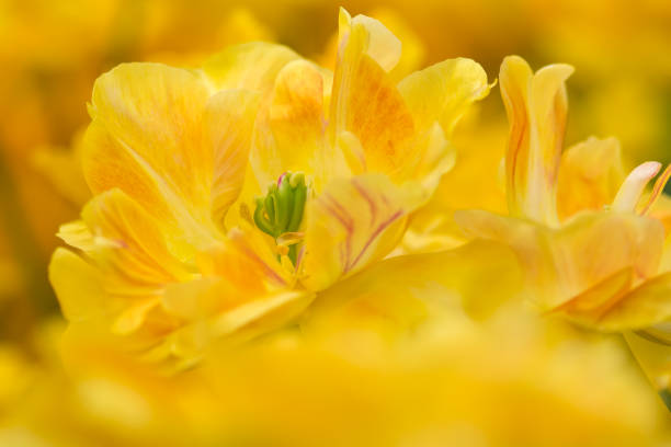 Tulip flower close-up stock photo