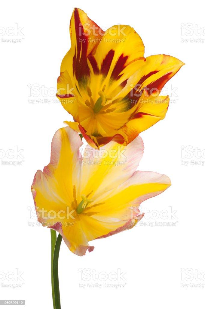 tulip flower isolated on white stock photo