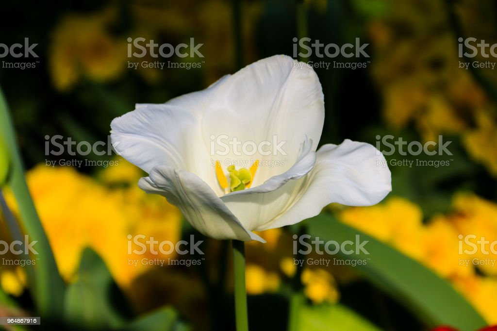 Tulip flower royalty-free stock photo