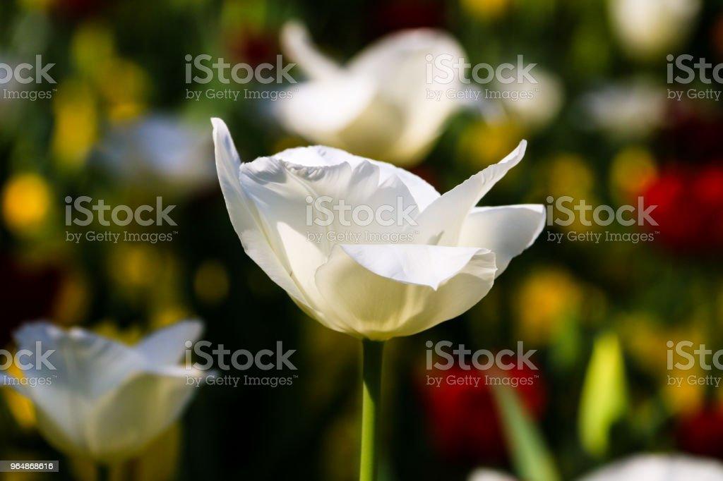 鬱金香花 - 免版稅前後院圖庫照片