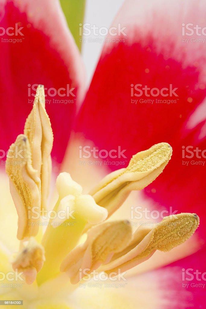 tulip flower royalty-free stock photo