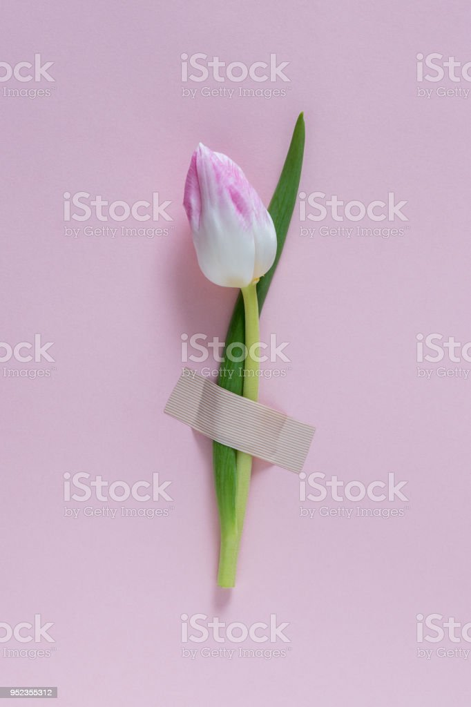 Tulip flower taped to pink background. Minimal concept. stock photo
