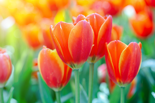 Tulip flower with green leaf background in tulip field at winter or spring day for postcard beauty decoration and agriculture concept design.