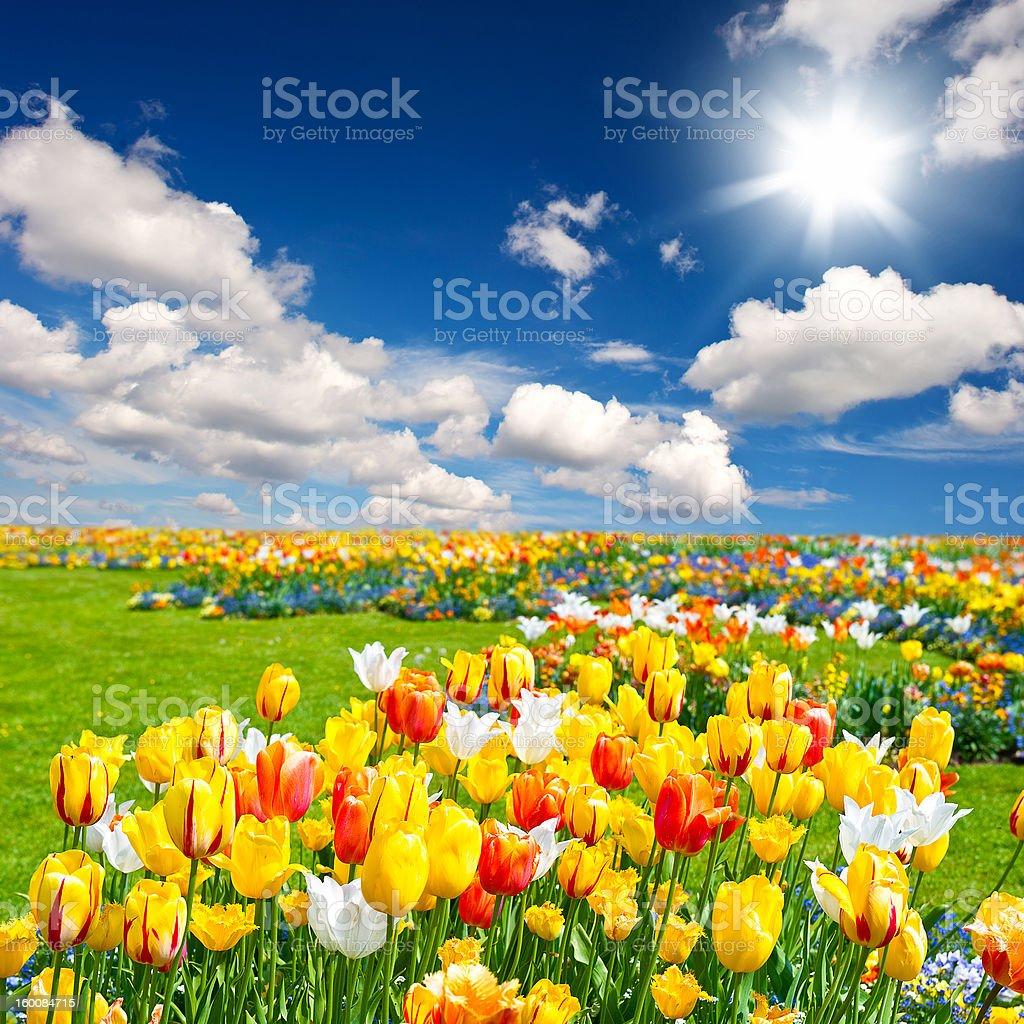 tulip flowers field royalty-free stock photo