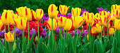 istock Tulip flowers meadow. Spring nature background. Sunny spring background with yellow tulips 1208890747