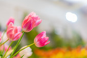 Tulip flowers, shallow selective focus. Spring nature background for web banner and card design