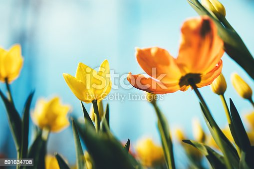 Beautiful yellow and orange tulips from below.