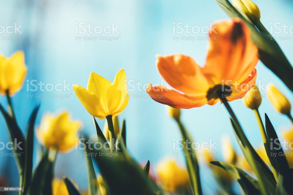 チューリップの花 ストックフォト