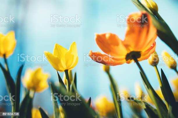Beautiful yellow and orange tulips from below.
