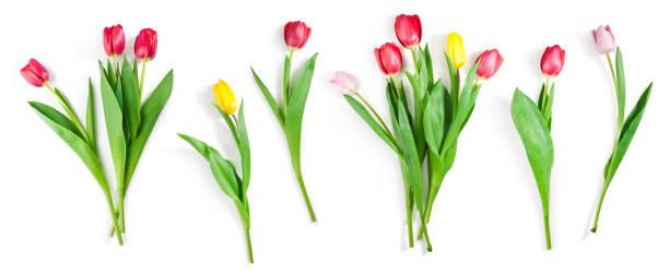 lale çiçek kümesi üzerinde beyaz izole kırpma yoluyla dahil - i̇stanbul stok fotoğraflar ve resimler
