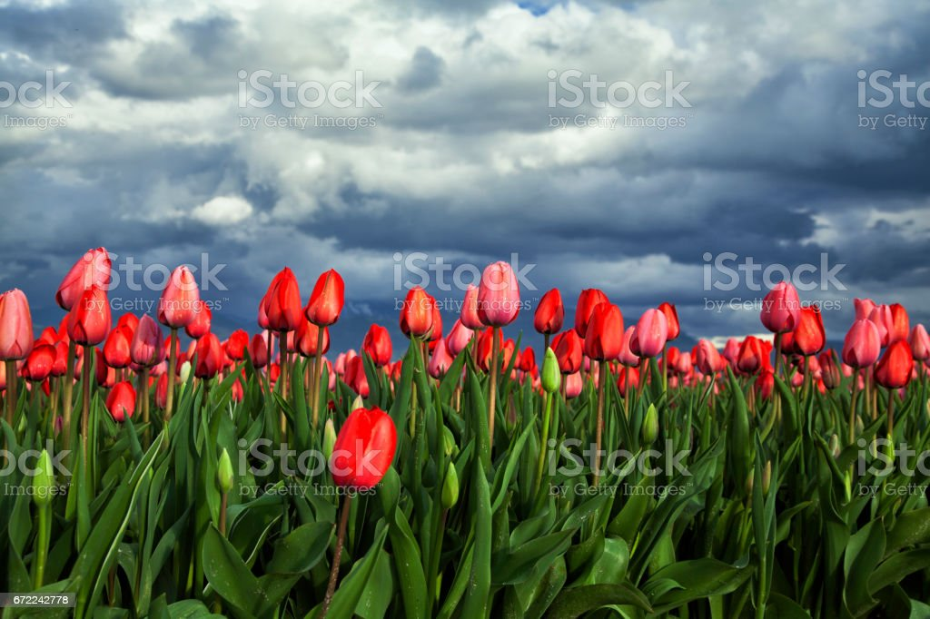 Tulip flowers under cloudy sky, Abbotsford, BC, Canada stock photo