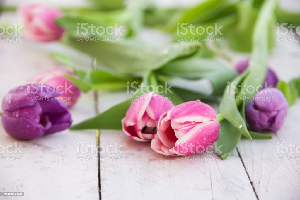 Tulip flowers with water drops royalty-free stock photo
