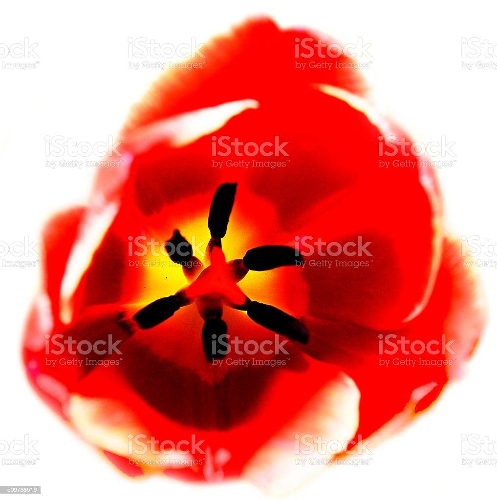 tulip focused inside stock photo