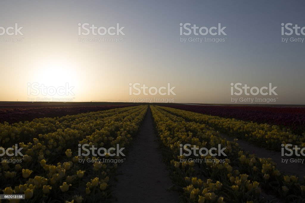 Tulip garden full of various colors of tulips in spring royalty-free stock photo