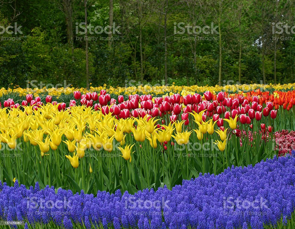 Tulip garden in keukenhof holland royalty-free stock photo
