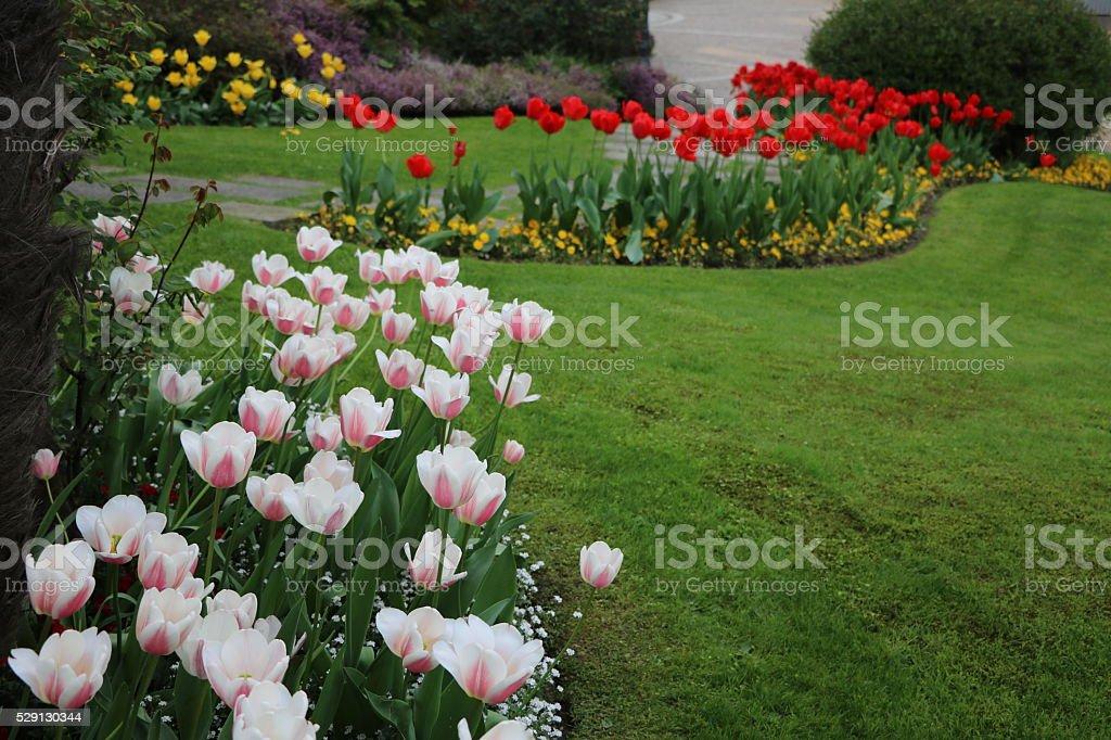 Tulip garden in spring stock photo