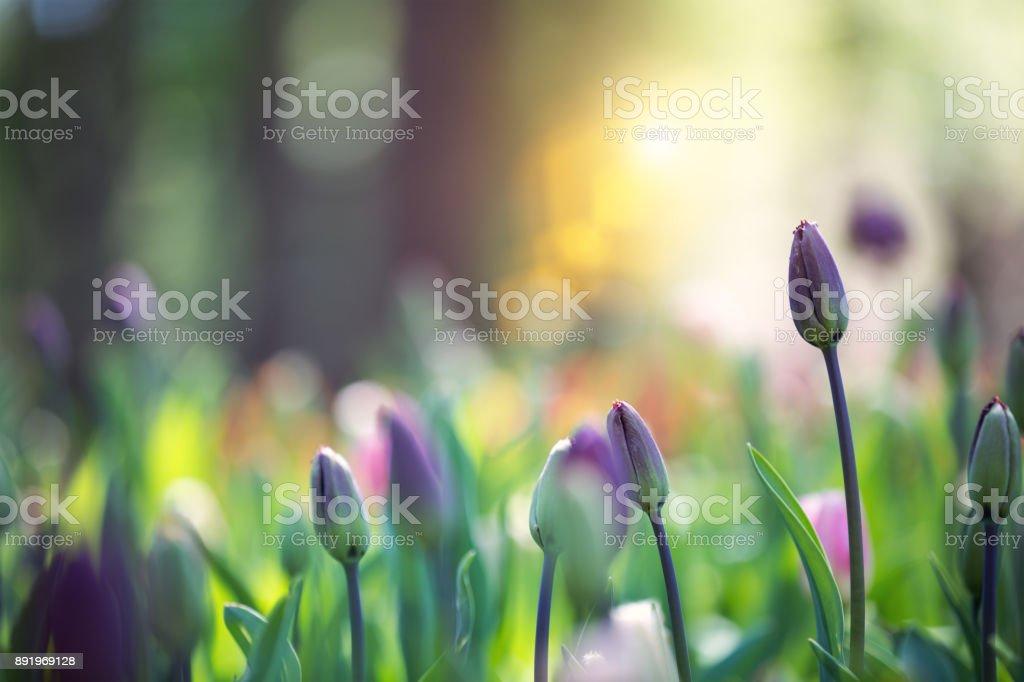 Tulpe-Garten – Foto