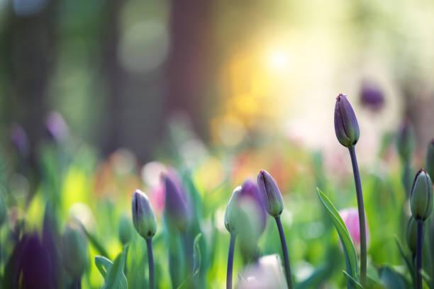 tulip garden - pączek etap rozwoju rośliny zdjęcia i obrazy z banku zdjęć