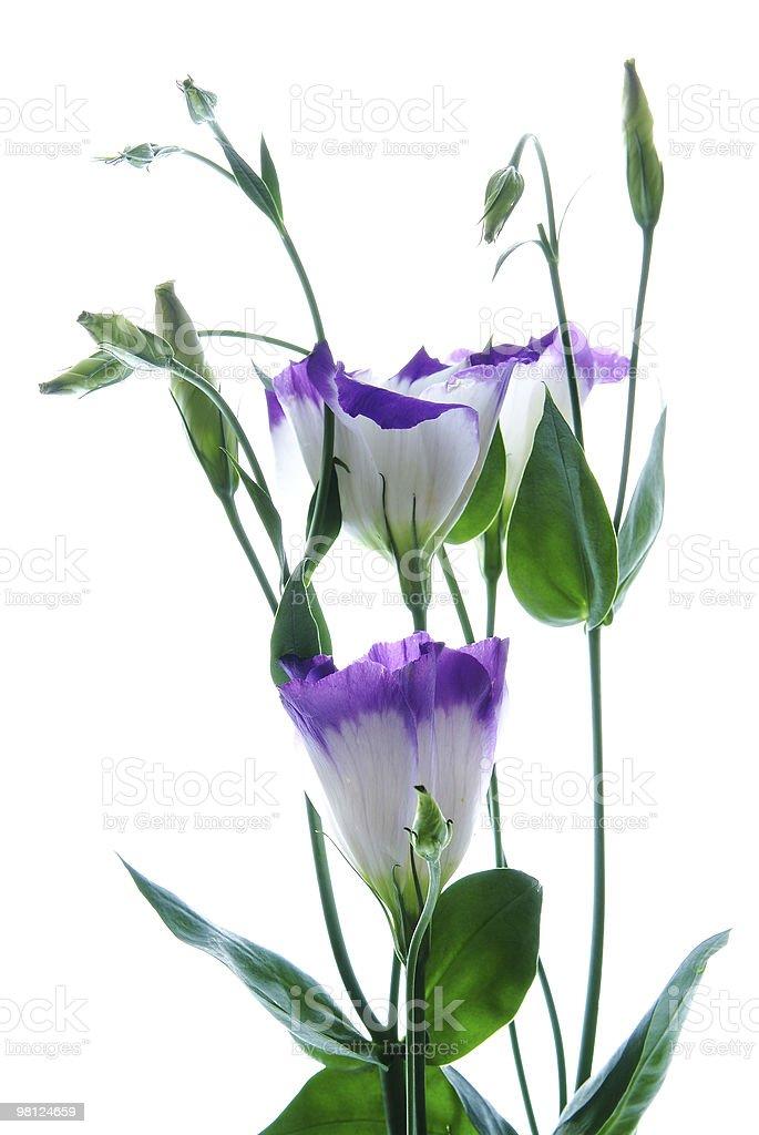 튤립 젠티안 (Eustoma) 흰색 바탕에 흰색 배경 royalty-free 스톡 사진