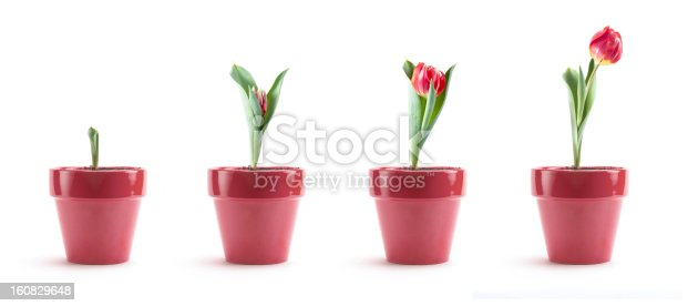 Series of images showing the progression of a pink tulip from bulb to blooming. Isolated on white.