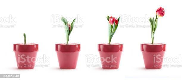 Tulip growth picture id160829648?b=1&k=6&m=160829648&s=612x612&h=uffxwwd8f4y1ywggcujpz0fzdsubeho iehl1k 7x w=