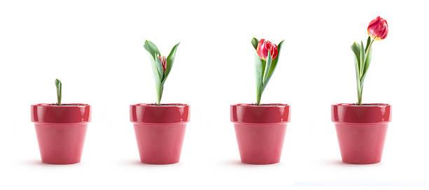 tulip growth - bloempot stockfoto's en -beelden