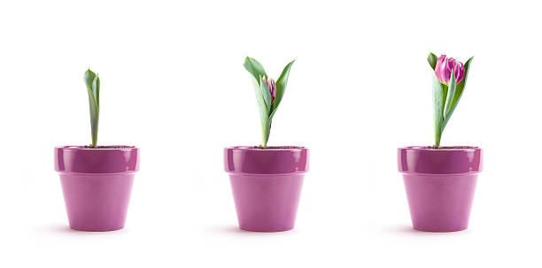 Tulip growth picture id162317432?b=1&k=6&m=162317432&s=612x612&w=0&h=fm5c16phse ndcygu1yvdam4mn6h7kfgcalaeaemjiw=