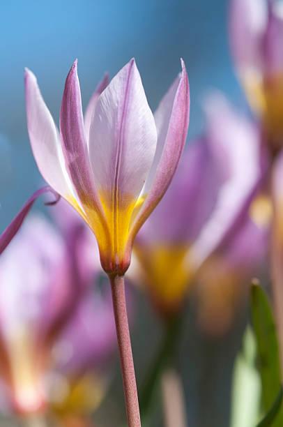 Tulip humilis stock photo