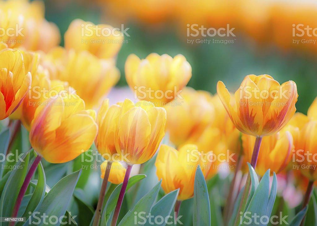 Tulpe im Bereich der gelben Zone – Foto