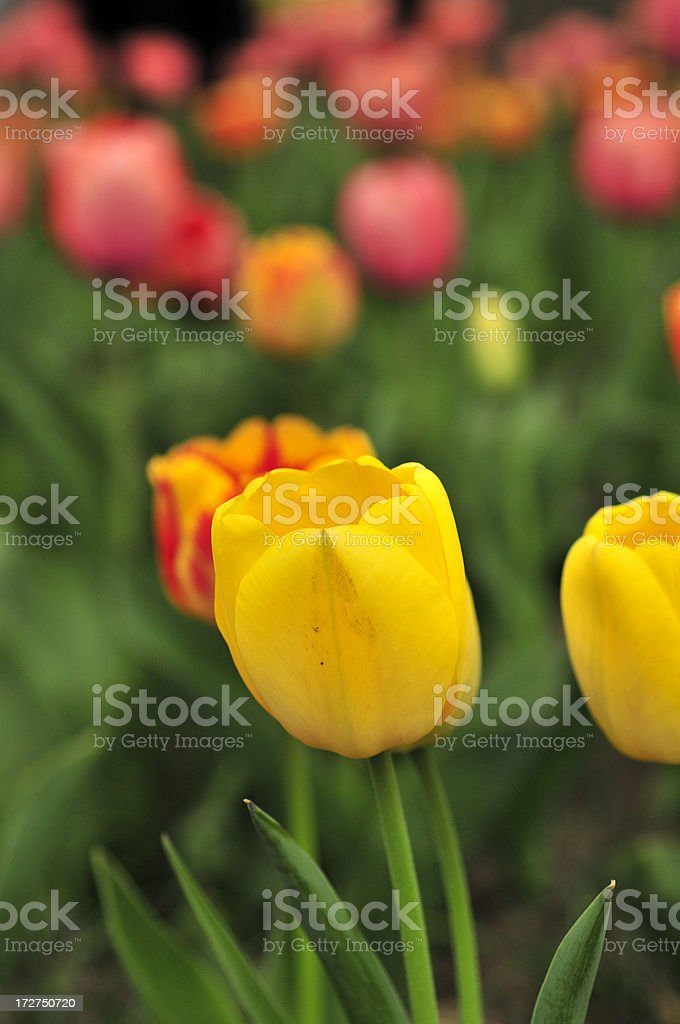 Tulip in Field royalty-free stock photo