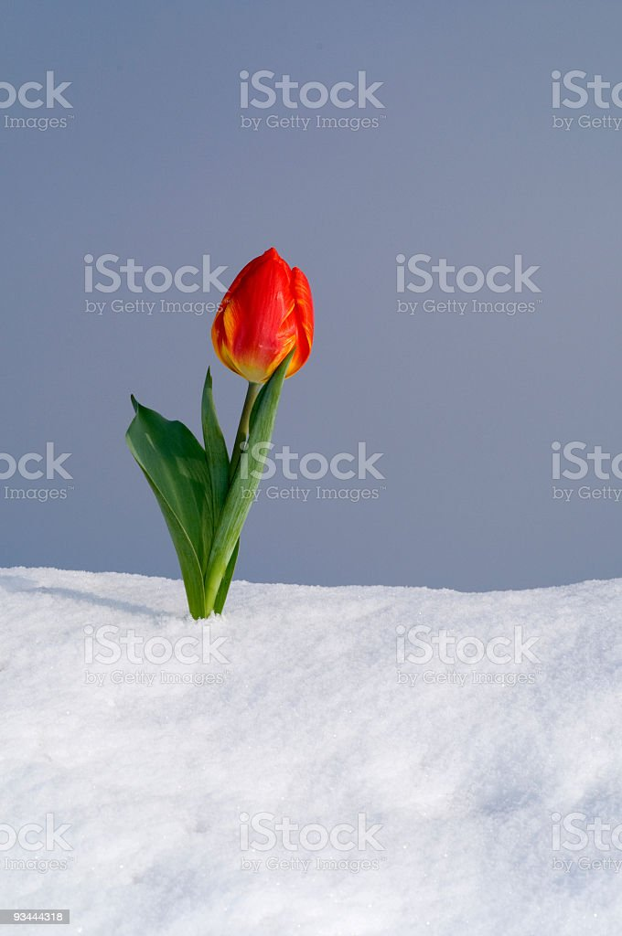 Tulpe In Fresh Snow Lizenzfreies stock-foto