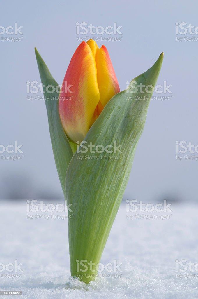 Tulpe In Fresh Snow Lizenzfreies stock-foto