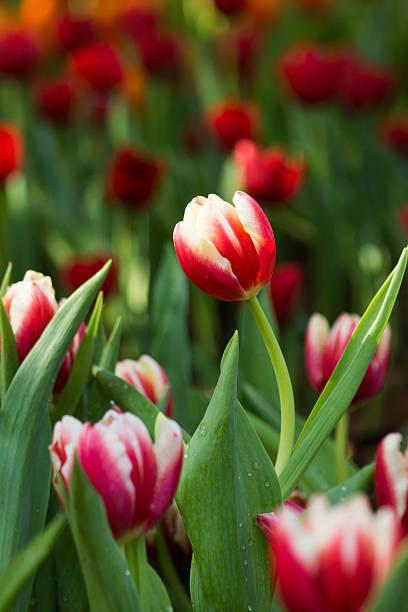 Tulpe in das Feld – Foto