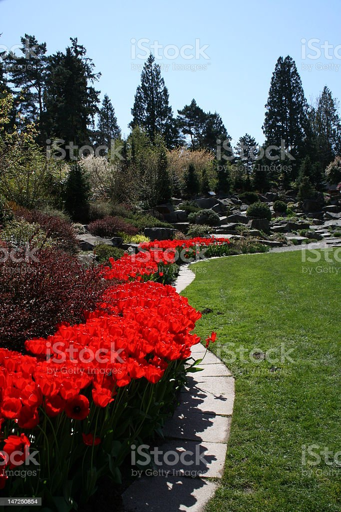 Tulip in the Garden royalty-free stock photo