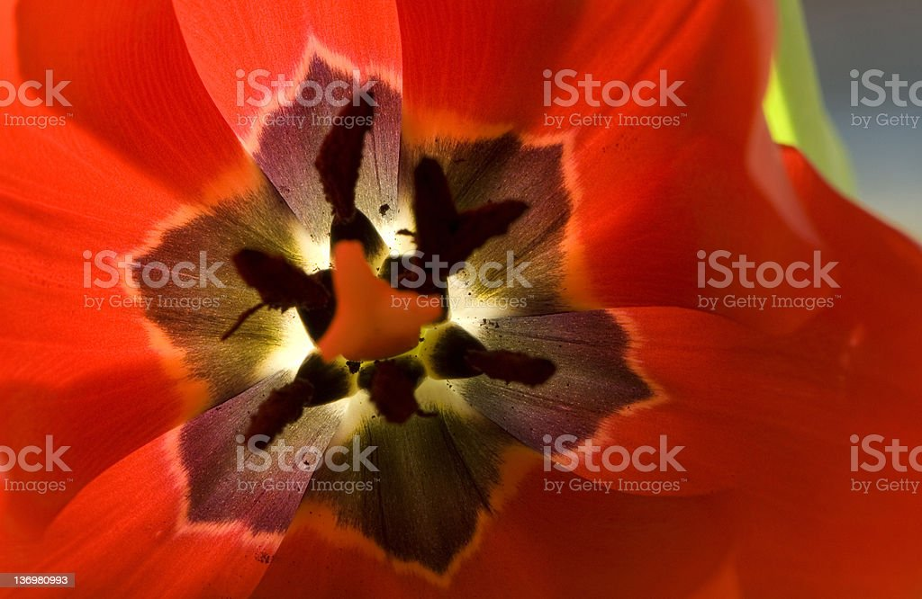 Tulip interior II royalty-free stock photo