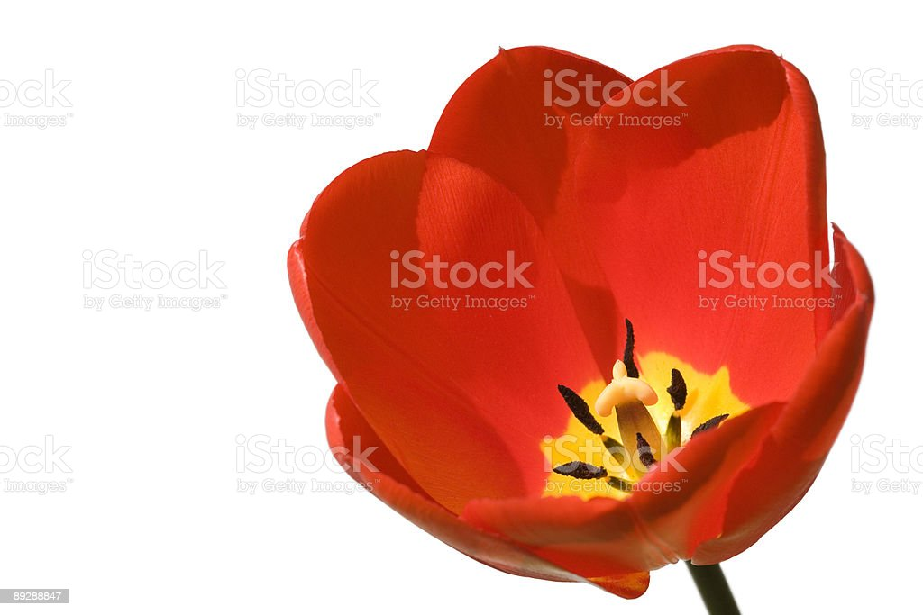 Tulip isolated on white stock photo