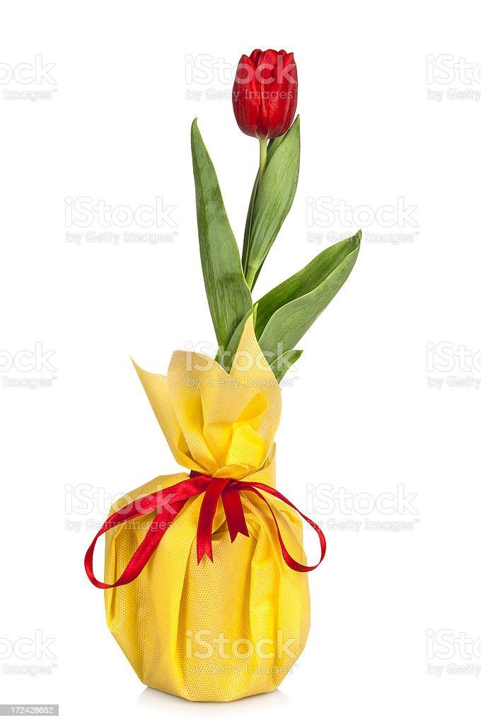 Tulip isolated royalty-free stock photo
