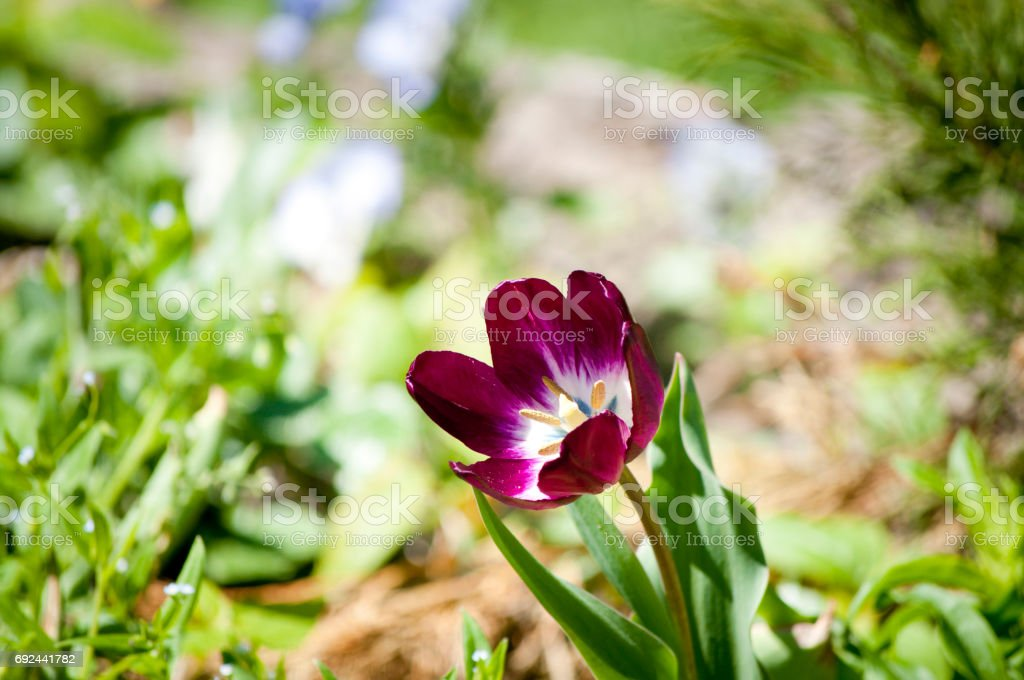 Tulip of lilac color stock photo