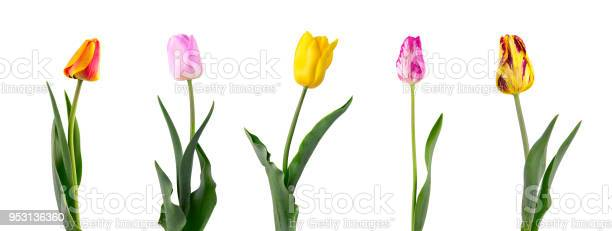 Tulip on a long stem with leaves isolated on white background set of picture id953136360?b=1&k=6&m=953136360&s=612x612&h=qohiaddxfyo1vij1owccgnx 3y o7dybhbi9t6zmdn4=