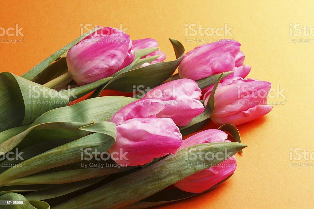 tulip on orange background royalty-free stock photo