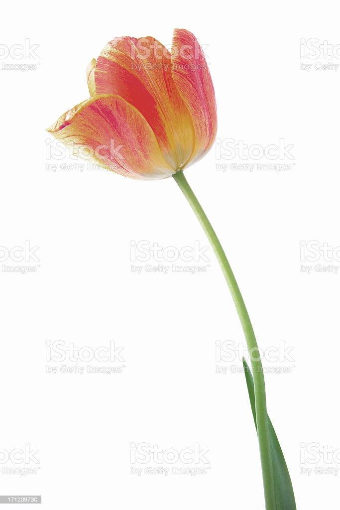 tulip on white royalty-free stock photo